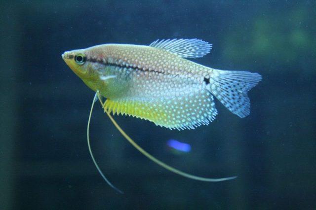 Gambar Nama Nama Ikan Hias Air Tawar Dan Gambarnya - Sepat Hias