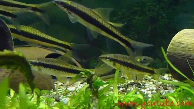 Nama Nama Ikan Hias Air Tawar Dan Gambarnya - Siamese algae eater
