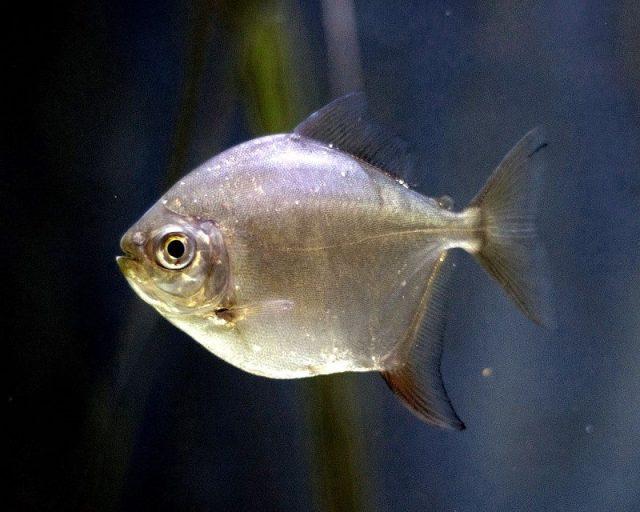 Gambar Nama Nama Ikan Hias Air Tawar Dan Gambarnya - Silver dollar
