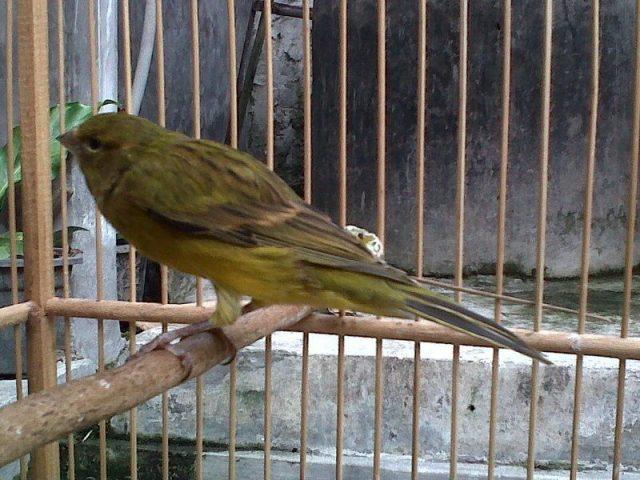 Gambar Burung Kenari Lokal Hijau