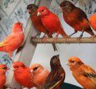 Gambar Burung Kenari Lokal Merah