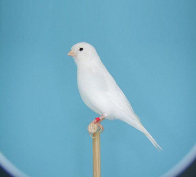Gambar Burung Kenari Lokal Putih-Kenari Putih Dominan
