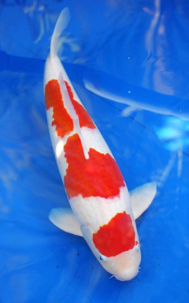 Ingin Hoki? Coba Pelihara 4 Jenis Ikan Hias Air Tawar