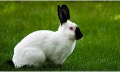 jenis kelinci English Spot