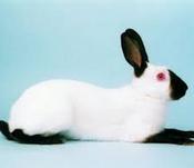 jenis kelinci Kelinci Himalayan/Kelinci Rusia