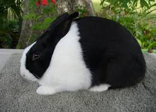 jenis kelinci ducth