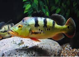 Peacock Bass jenis ikan predator air tawar