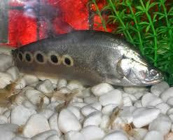 Belida jenis ikan predator air tawar