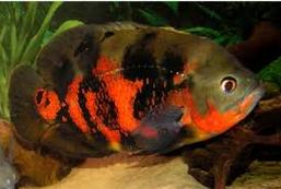 Oscar jenis ikan predator air tawar