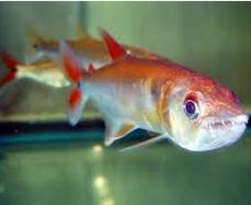 ikan cachorro jenis ikan predator air tawar