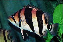 Ikan Predator Tigerfish