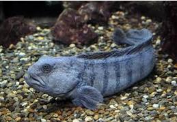 Wolf fish jenis ikan predator air tawar