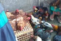 harga ayam kampung naik