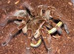 The Goliath Bird-eating Tarantula Tarantula Terbesar Di Dunia