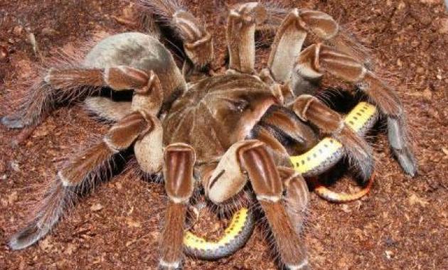 The Goliath Bird-eating Tarantula Tarantula Terbesar Di Dunia