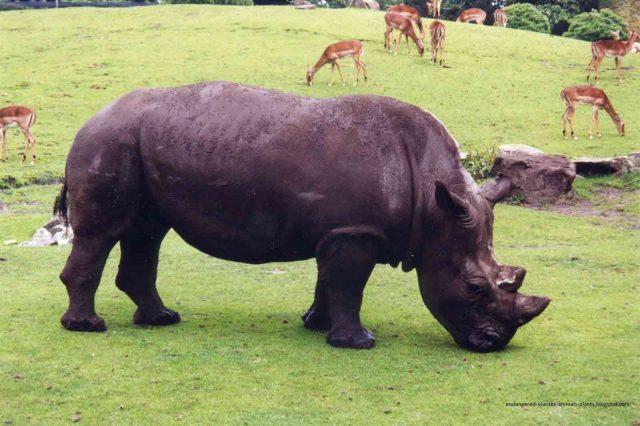 Gambar, Foto Nama Nama Hewan Langka Beserta Gambarnya - Badak Jawa (Rhinoceros sondaicus)