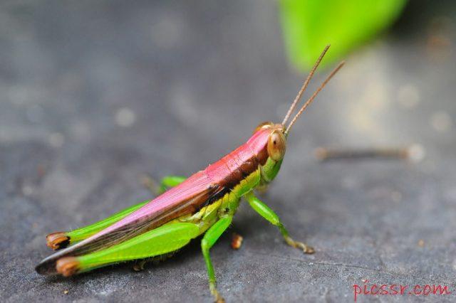 Gambar Klasifikasi Belalang Fakta Unik Dan Menarik Serta Gambar Berbagai Jenisnya, Catantopidae