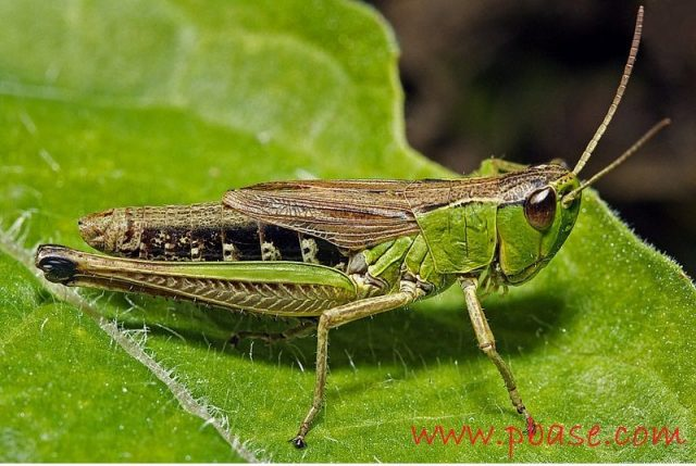 Gambar, Klasifikasi Belalang Fakta Unik Dan Menarik Serta Gambar Berbagai Jenisnya Grasshopper acrididae chorthippus brunneus chortippus.jpg