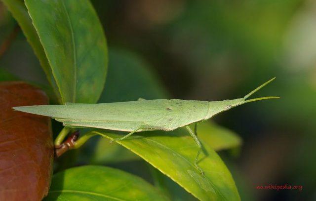 Gambar Klasifikasi Belalang Fakta Unik Dan Menarik Serta Gambar Berbagai Jenisnya, Pyrgomorphidae
