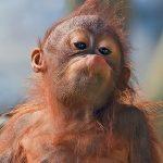 gambar anak orangutan lucu-pongah