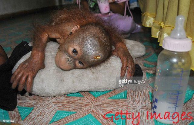 gambar anak orangutan lucu - mimik susu lagi