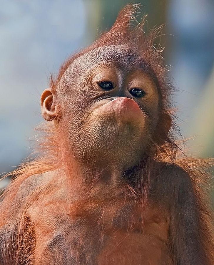 7 Gambar Anak Orangutan Lucu Nama Nama Hewan