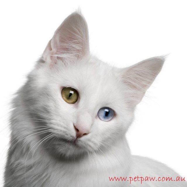 Gambar Kucing Anggora Asli, Ketahui Ciri Cirinya Sebelum Anda Membeli