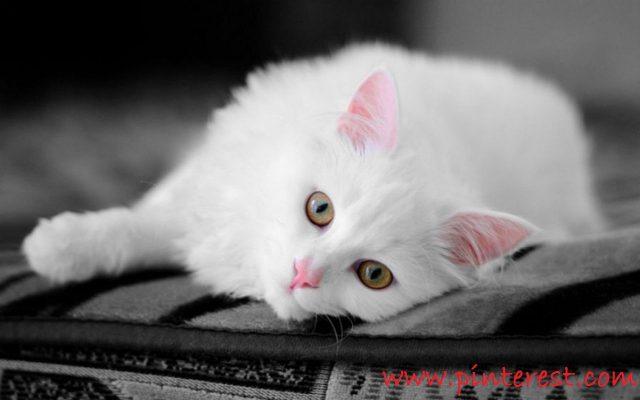 Gambar Kucing Anggora Asli, Ketahui Ciri Cirinya Sebelum Membeli