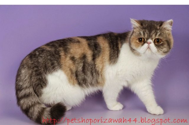 Gambar Jenis Kucing Persia - Persia Peaknose