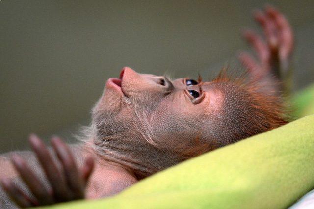 gambar anak orangutan lucu-santai dulu ah