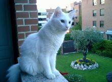 Gambar Sejarah Kucing Anggora Asli, Ketahui Ciri Cirinya Sebelum Membeli