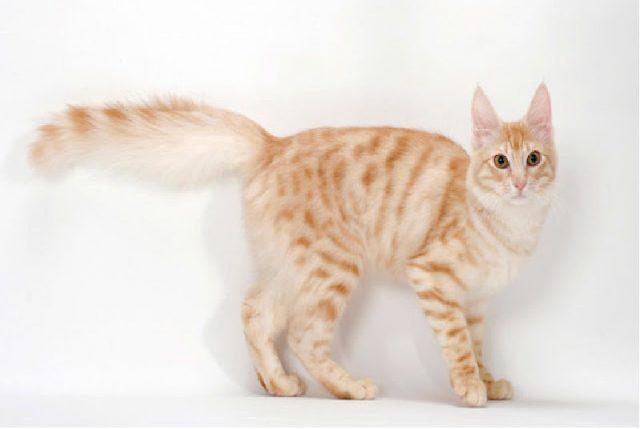 Gambar Dan Foto Harga Kucing Anggora Murah