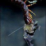 Gambar foto foto kelabang raksasa saat memangsa kelelawar