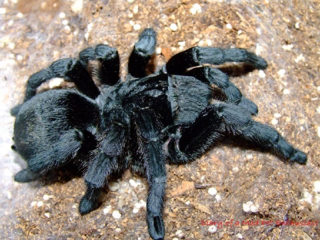 gambar dan jenis laba laba tarantula brazilian black tarantulas