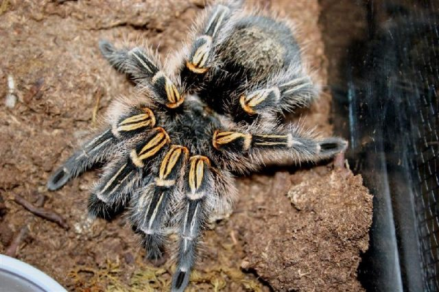 gambar dan jenis laba laba tarantula chaco golden knee grammostola pulchripes
