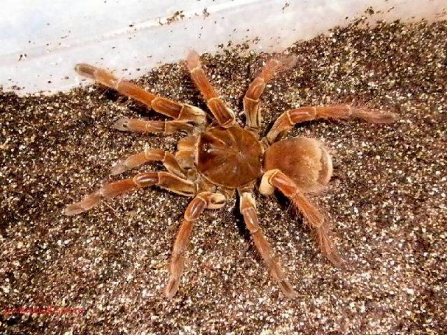 gambar dan jenis laba laba tarantula goliath bird eating tarantulas theraphosa blondi