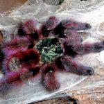 gambar dan jenis laba laba tarantula pink toed tarantula avicularia versicolor