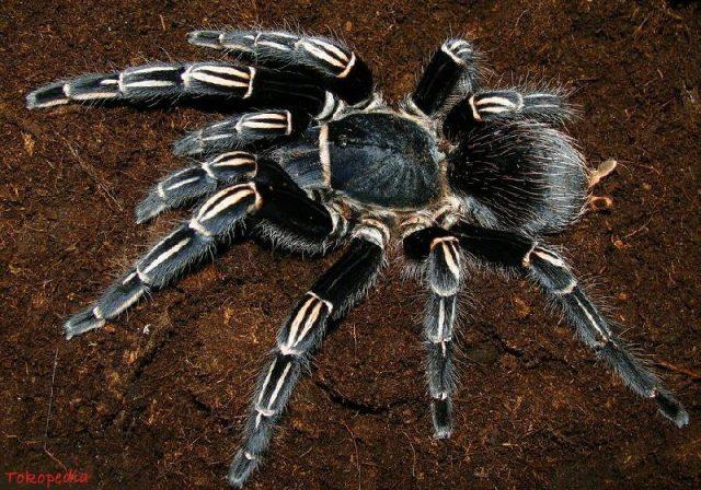 gambar dan jenis laba laba tarantula zebra tarantulas aphonopelma seemanni
