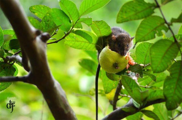Gambar klasifikasi tikus dan jenis jenis serta gambarnya di berbagai dunia rattus tiomanicus