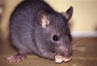 Gambar klasifikasi tikus dan jenis jenis serta gambarnya di berbagai dunia tikus rumah
