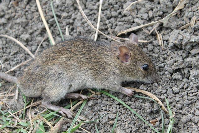 Gambar klasifikasi tikus dan jenis jenis serta gambarnya di berbagai dunia tikus sawah rattus argentiventer