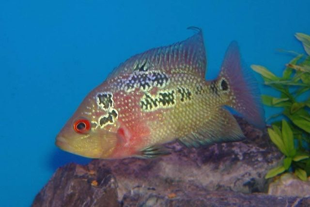Gambar makanan ikan louhan biar jenong ikan cichlasoma trimaculatum mirip louhan
