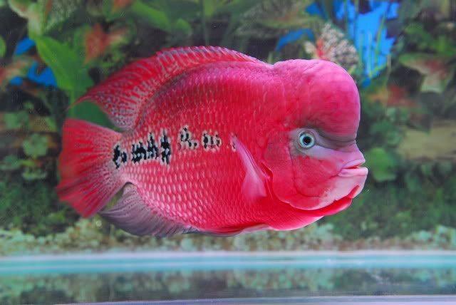 Gambar makanan ikan louhan biar jenong yang alami