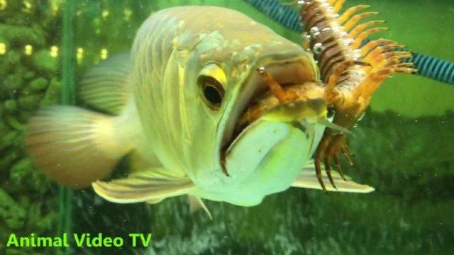 Gambar manfaat-kelabang-untuk-ikan-arwana-super-red
