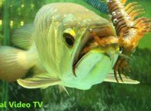 Gambar manfaat kelabang untuk ikan arwana super red
