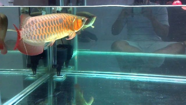 Gambar manfaat kelabang untuk ikan arwana super red dan jenis lainya