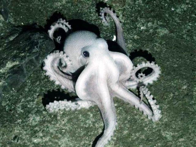 Gambar Nama Nama Hewan Laut Dan Gambarnya Gurita Laut