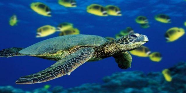 Gambar Nama Nama Hewan Laut Dan Gambarnya Penyu