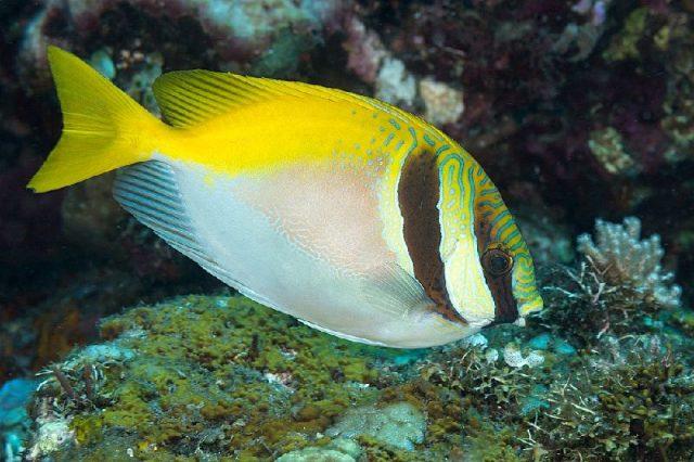 Gambar Nama Nama Ikan Laut Dan Gambarnya Baronang ( Siganus Virgatus )