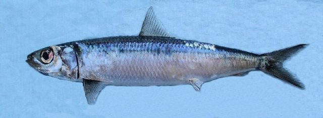 Gambar Nama Nama Ikan Laut Dan Gambarnya Haring